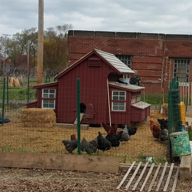 City Chickens