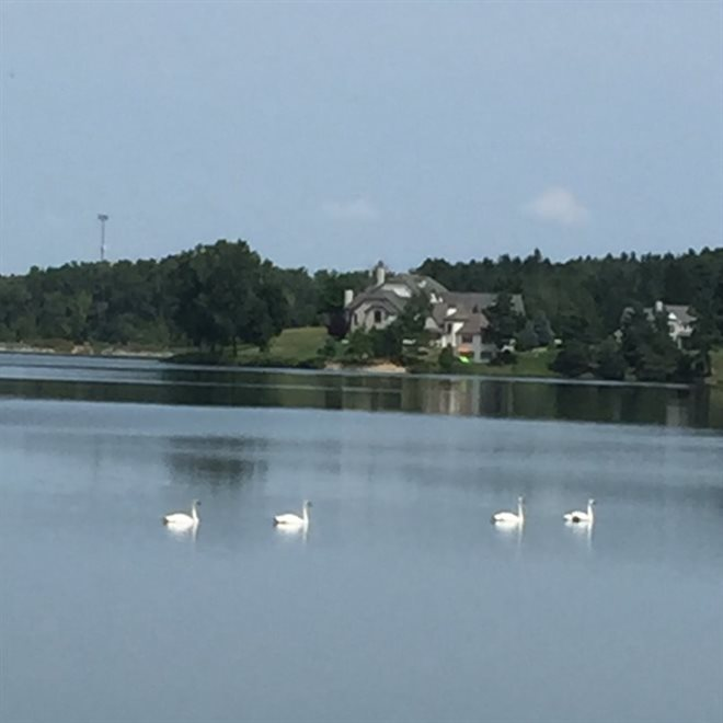 Swans on Lake Medina